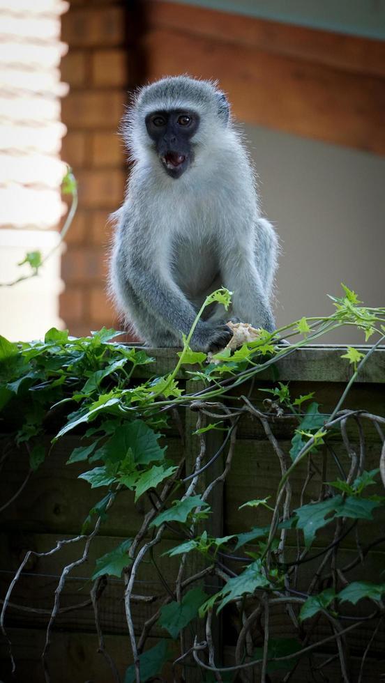 mono gris en un arbusto foto
