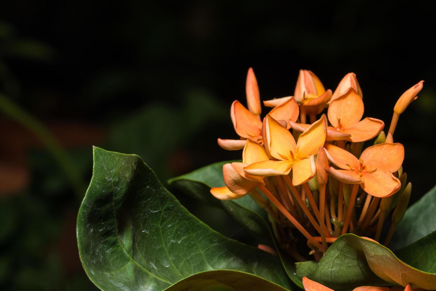 primer plano de la flor ixora foto