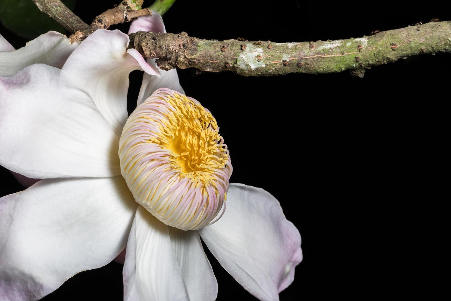 gustavia gracillima miers flor foto