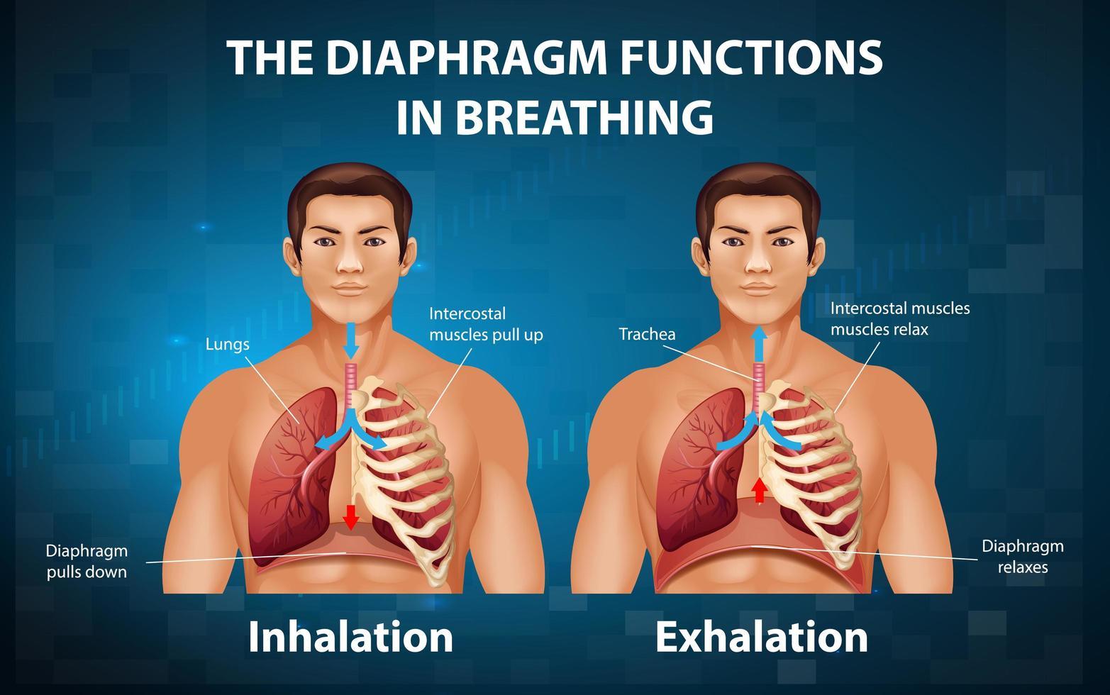 el diafragma funciona en la respiración vector