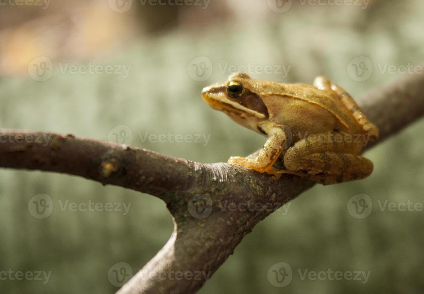 Greek stream frog (Rana graeca) photo