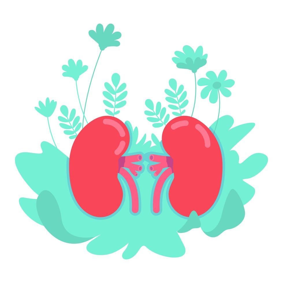 riñón anatómico plano vector