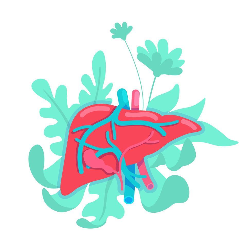 sistema anatómico del hígado vector