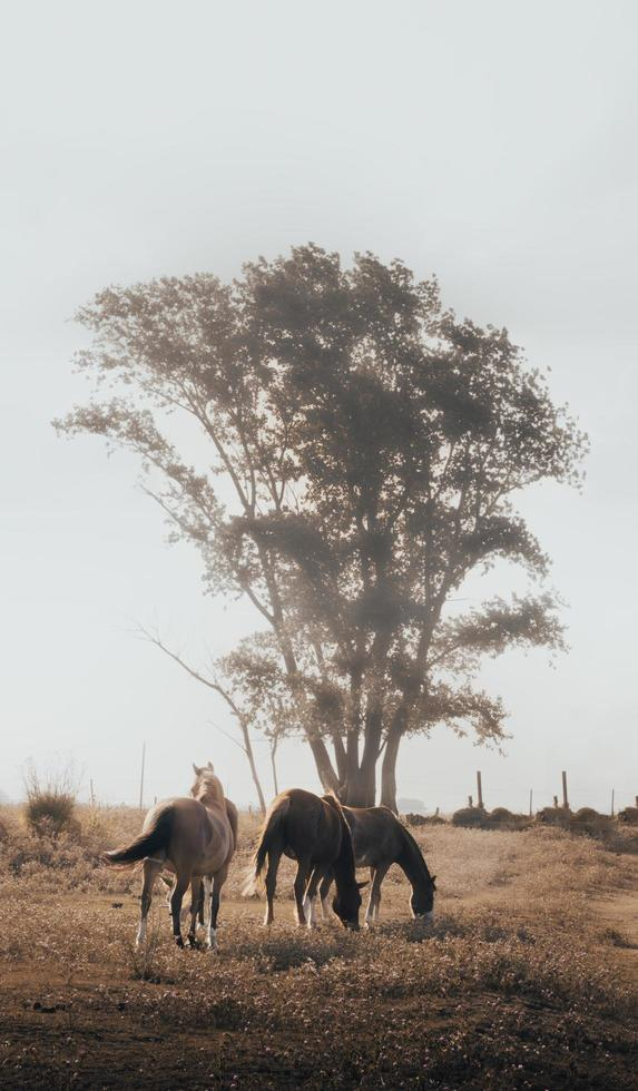 tres caballos marrones y blancos foto