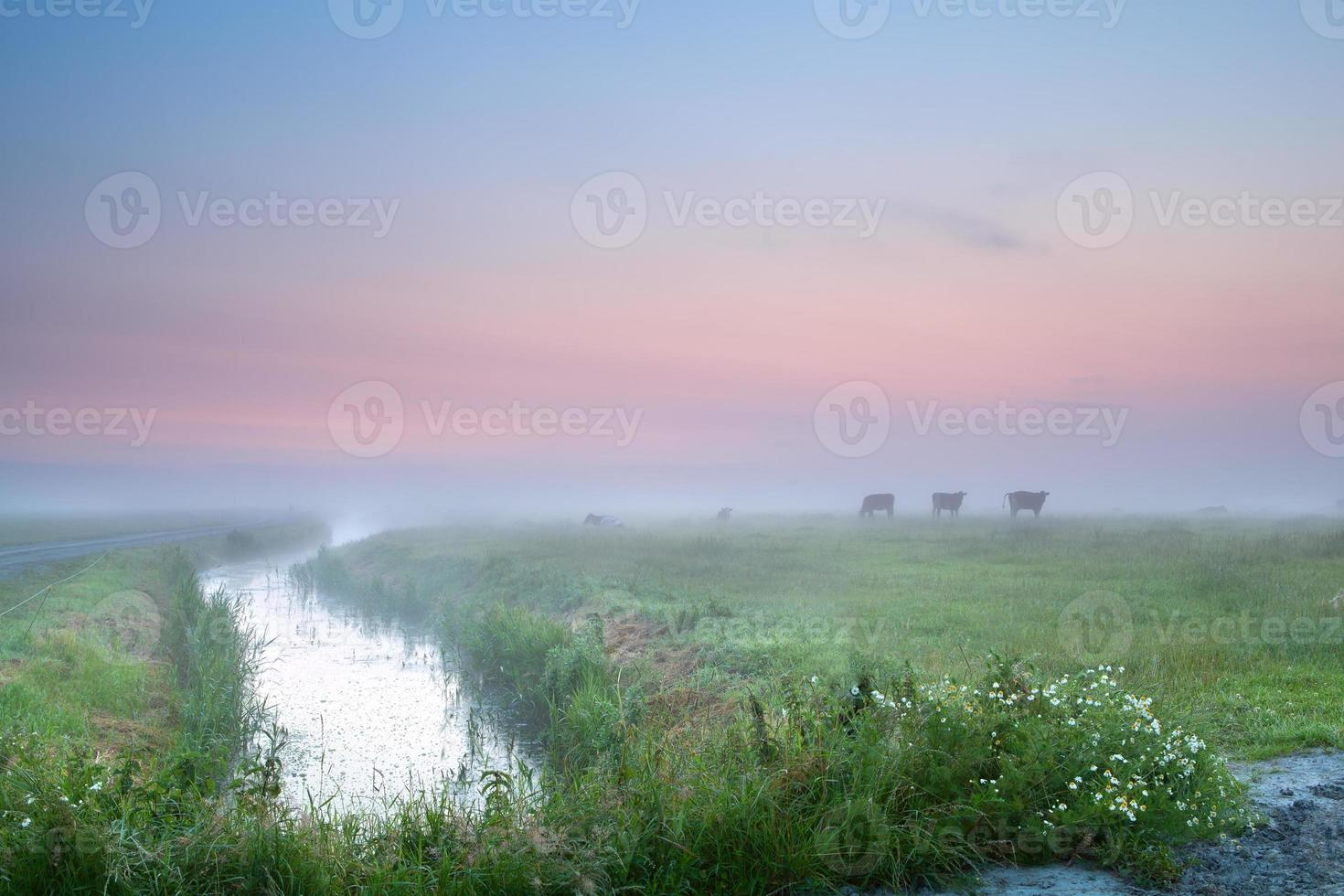 cow silhouettes on misty pasture photo