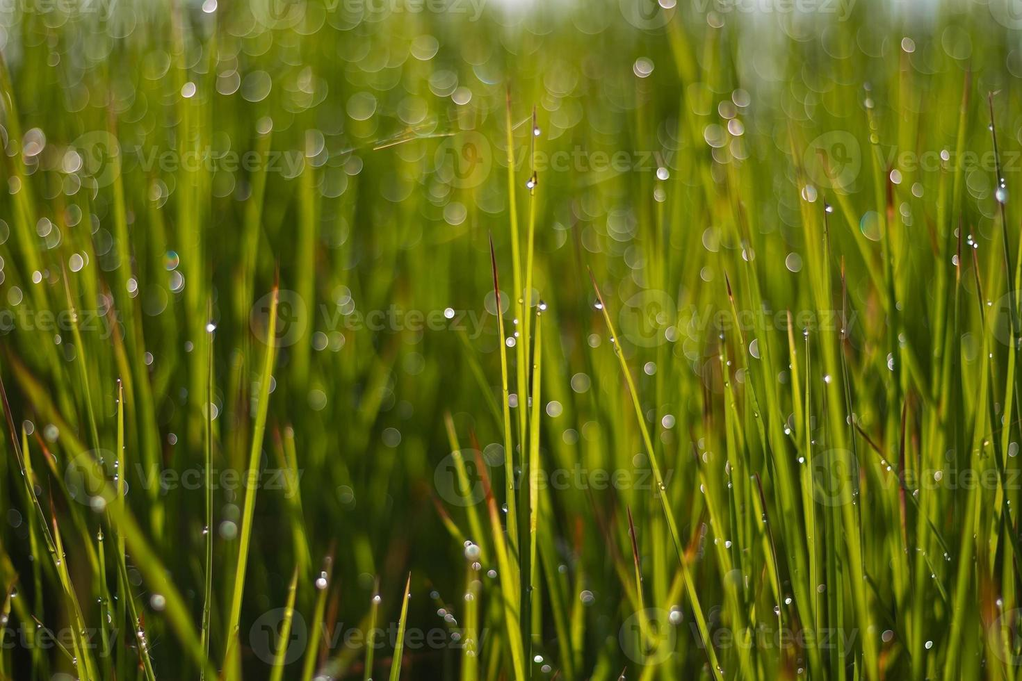 Fresh green grass with dew drop closeup. Nature Background photo