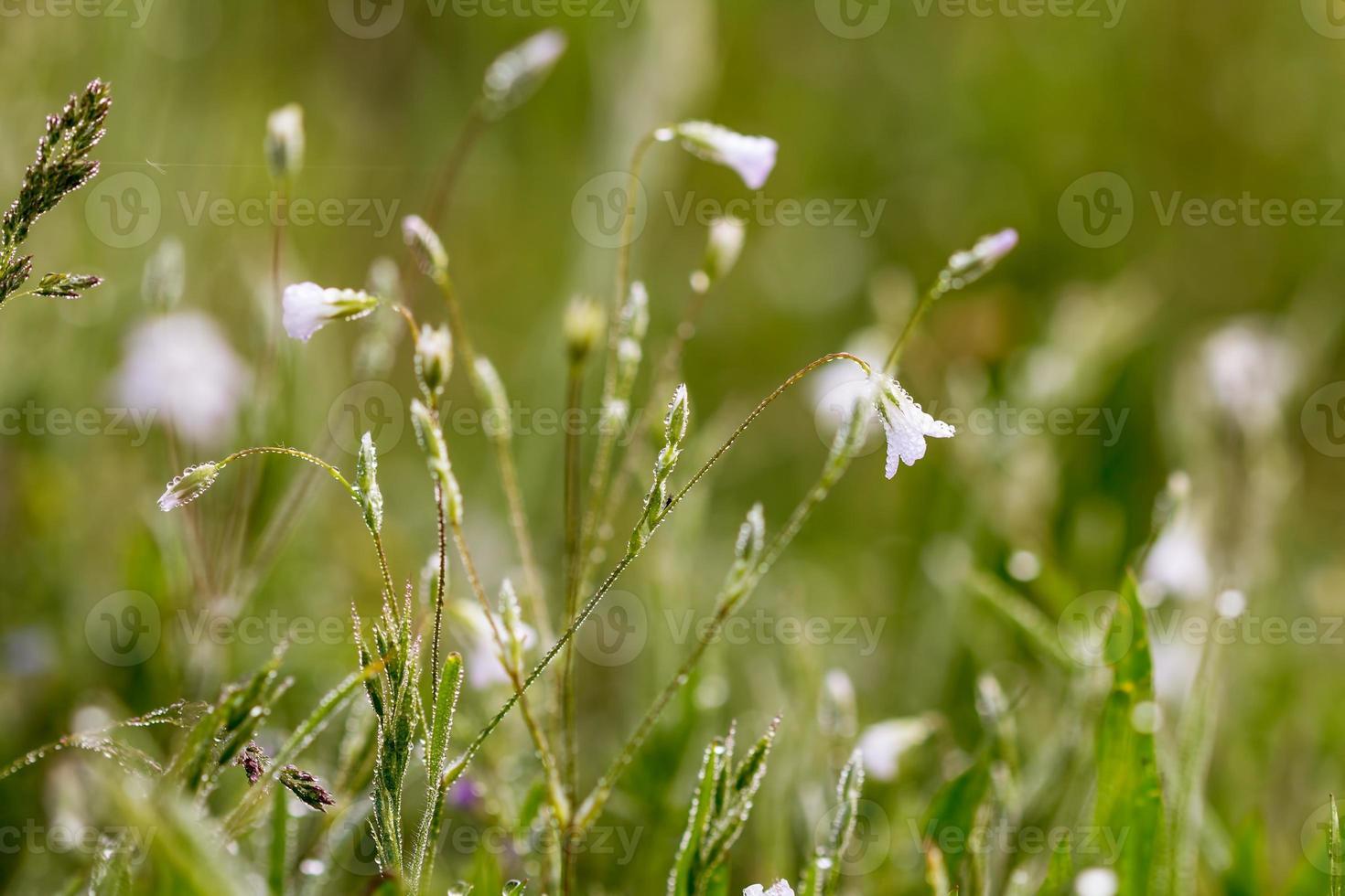 flores de primavera en la hierba y gotas de rocío matinal foto