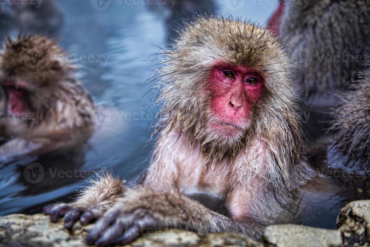 mono de nieve japonés en aguas termales. foto