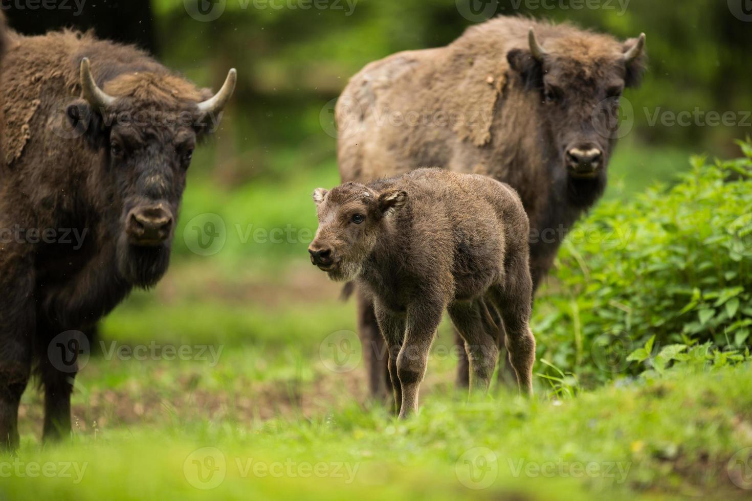 European bison (Bison bonasus) photo
