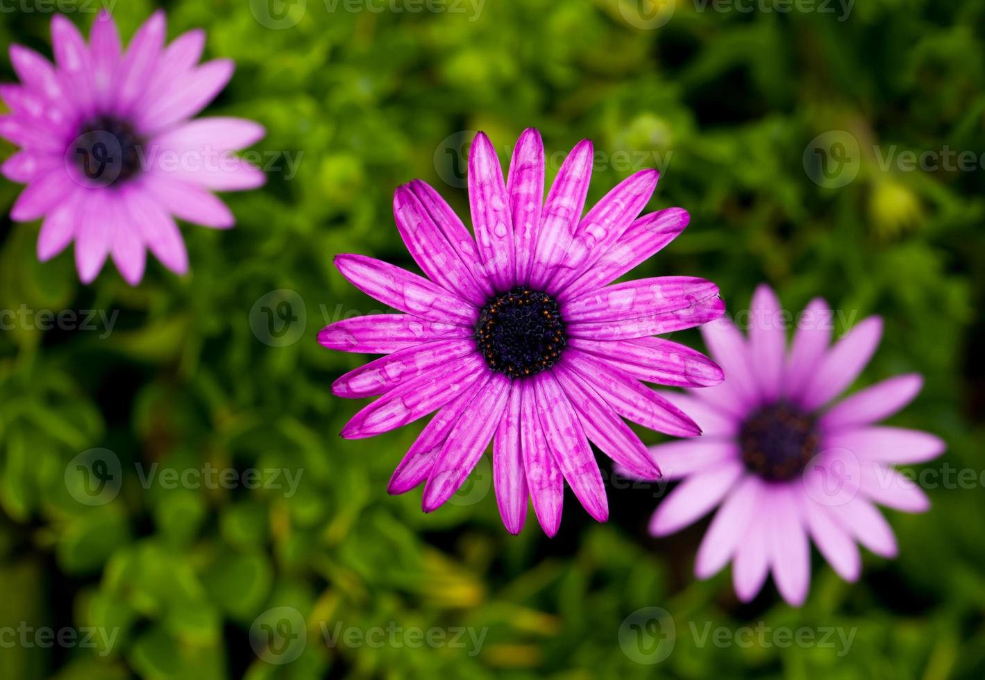 Daisy flowers photo