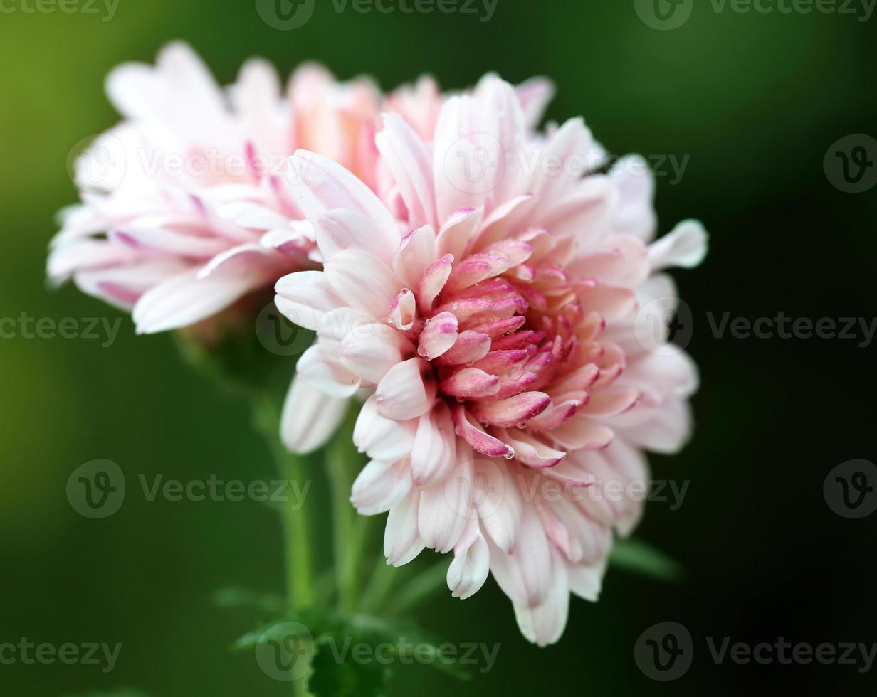 Fully bloomed chrysanthemum photo
