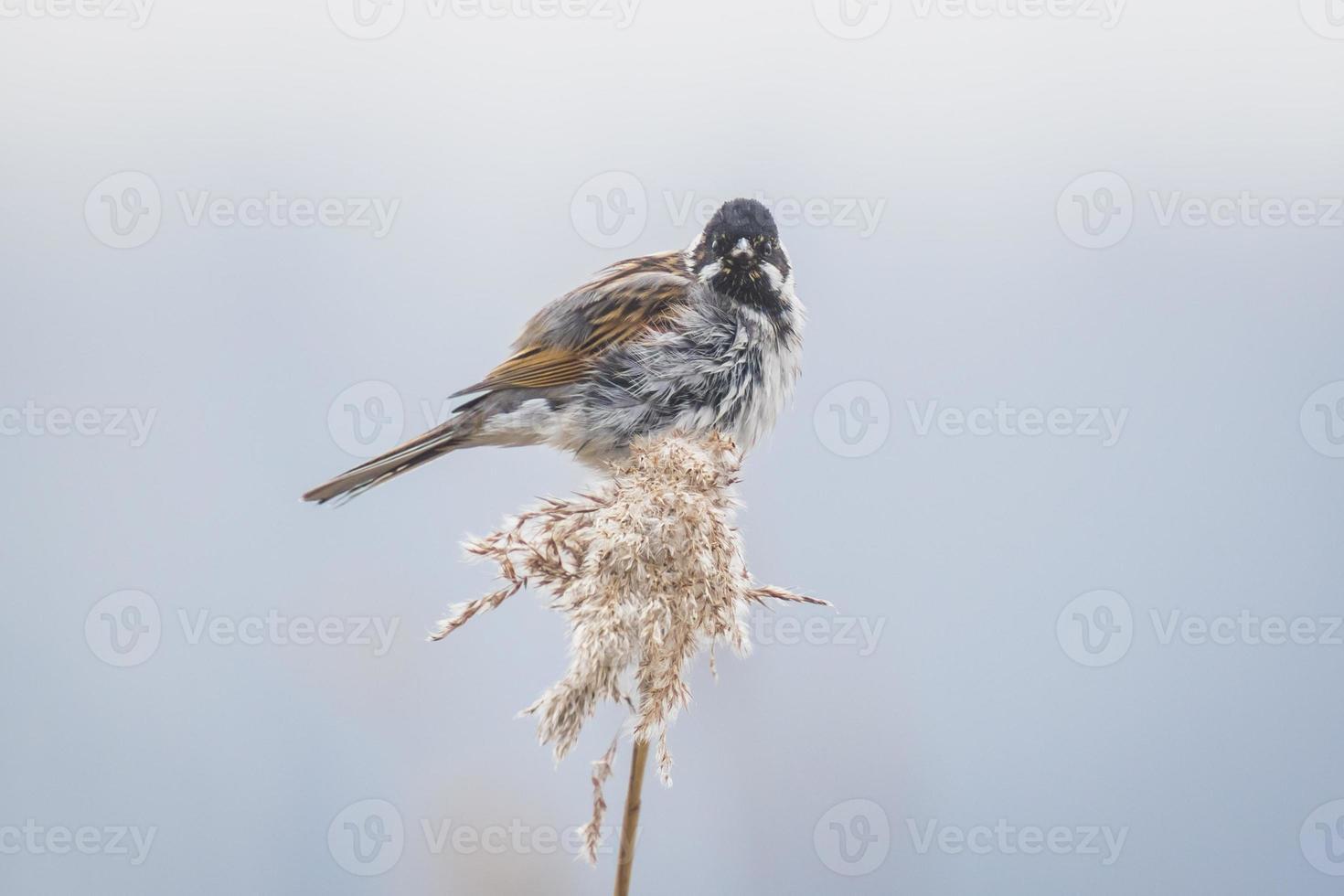 pájaro cantor en las cañas en un día ventoso foto