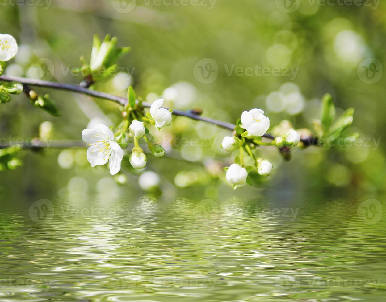 Cherry spring flowers photo