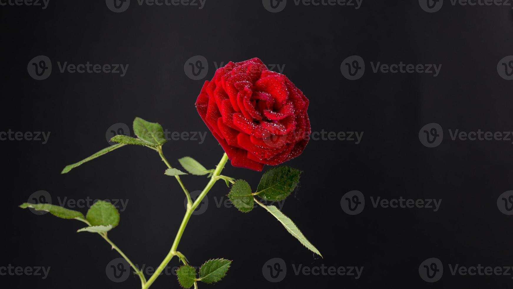 Red rose in bloom on a dark black background photo
