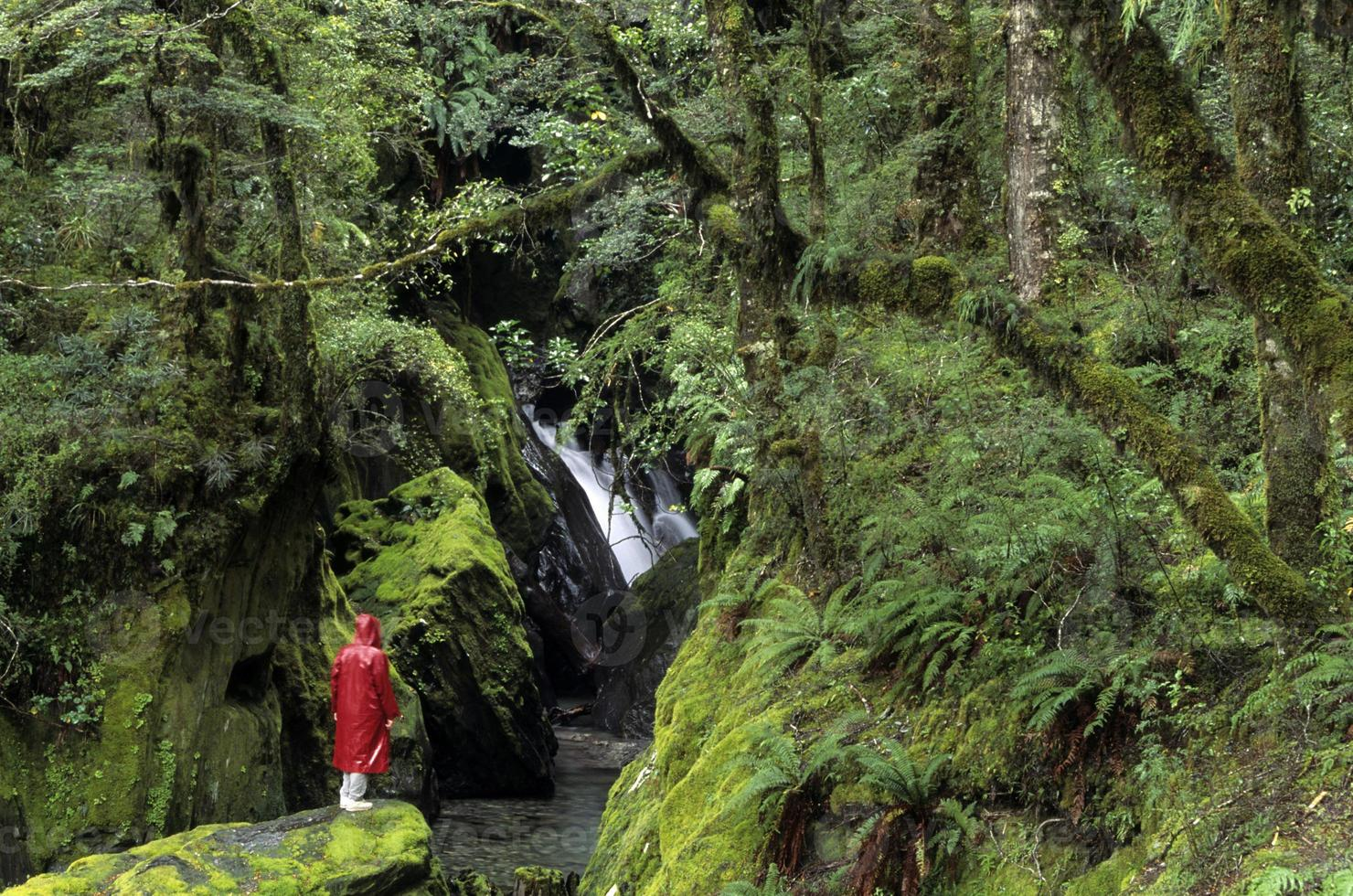 Rainforest, South Island, New Zealand with person in red raincoat. photo