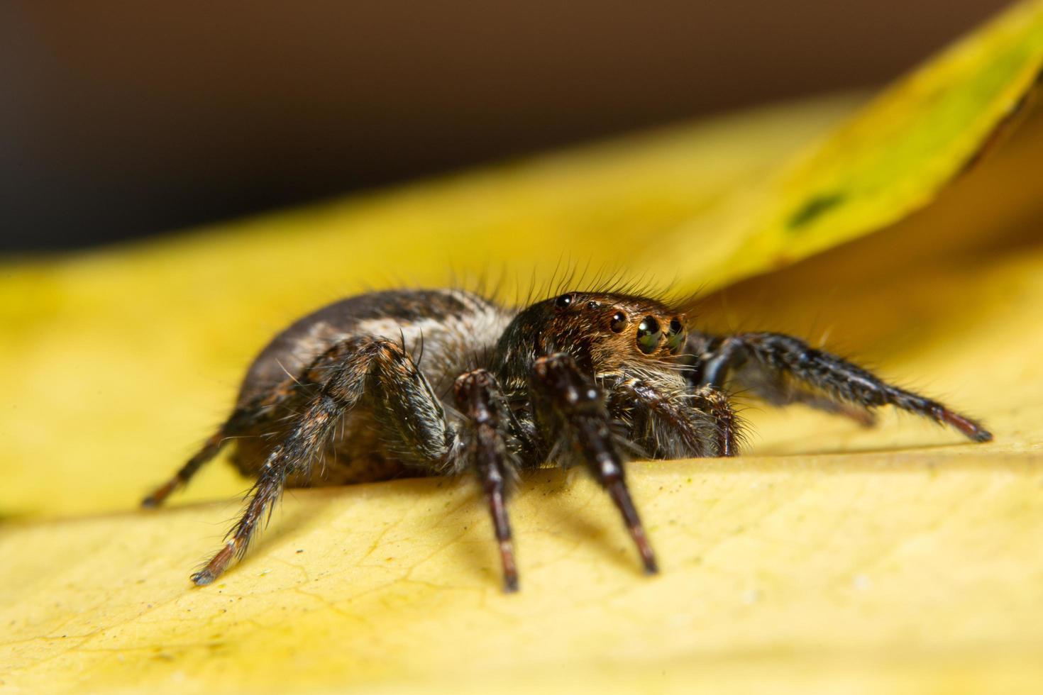 Araña macro sobre una hoja amarilla foto