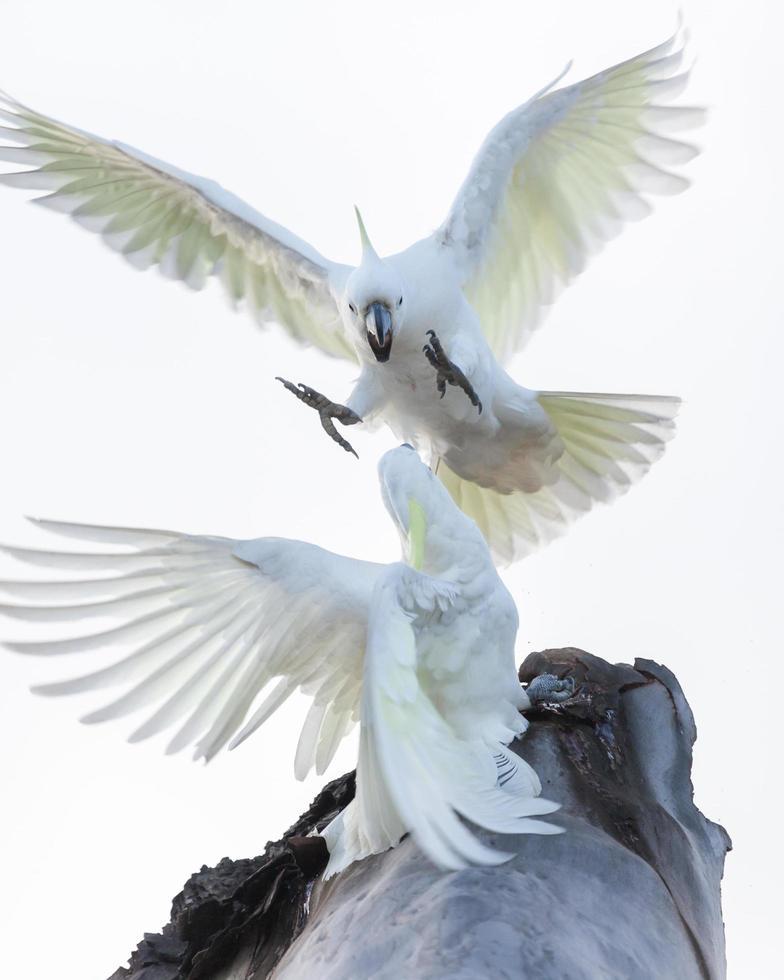 Two white cockatoos fighting photo