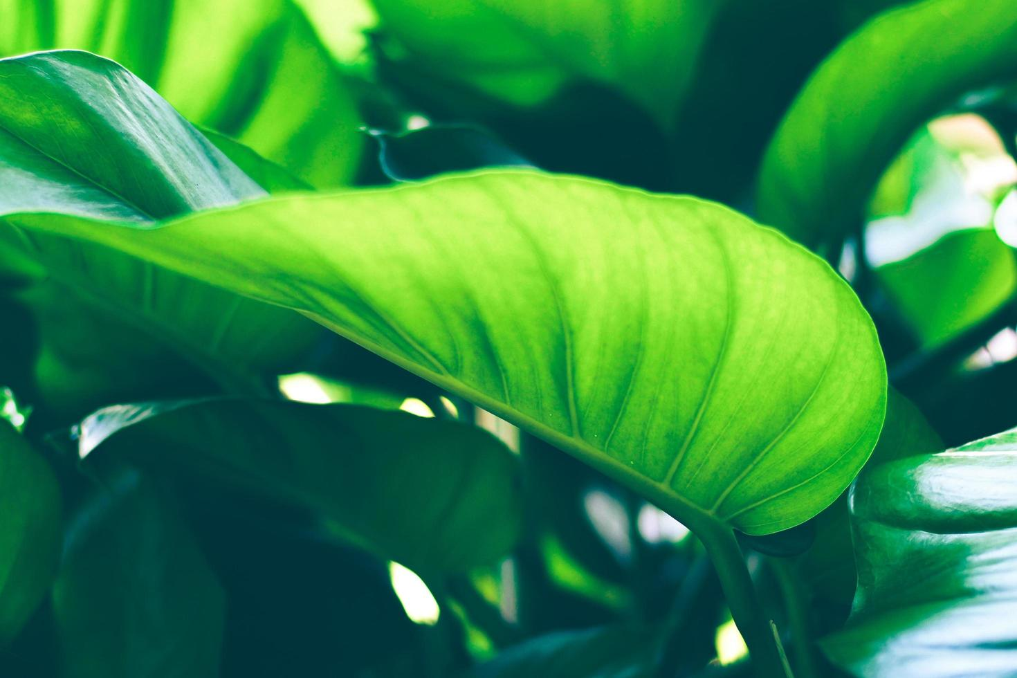 Sun shining through a green leaf photo