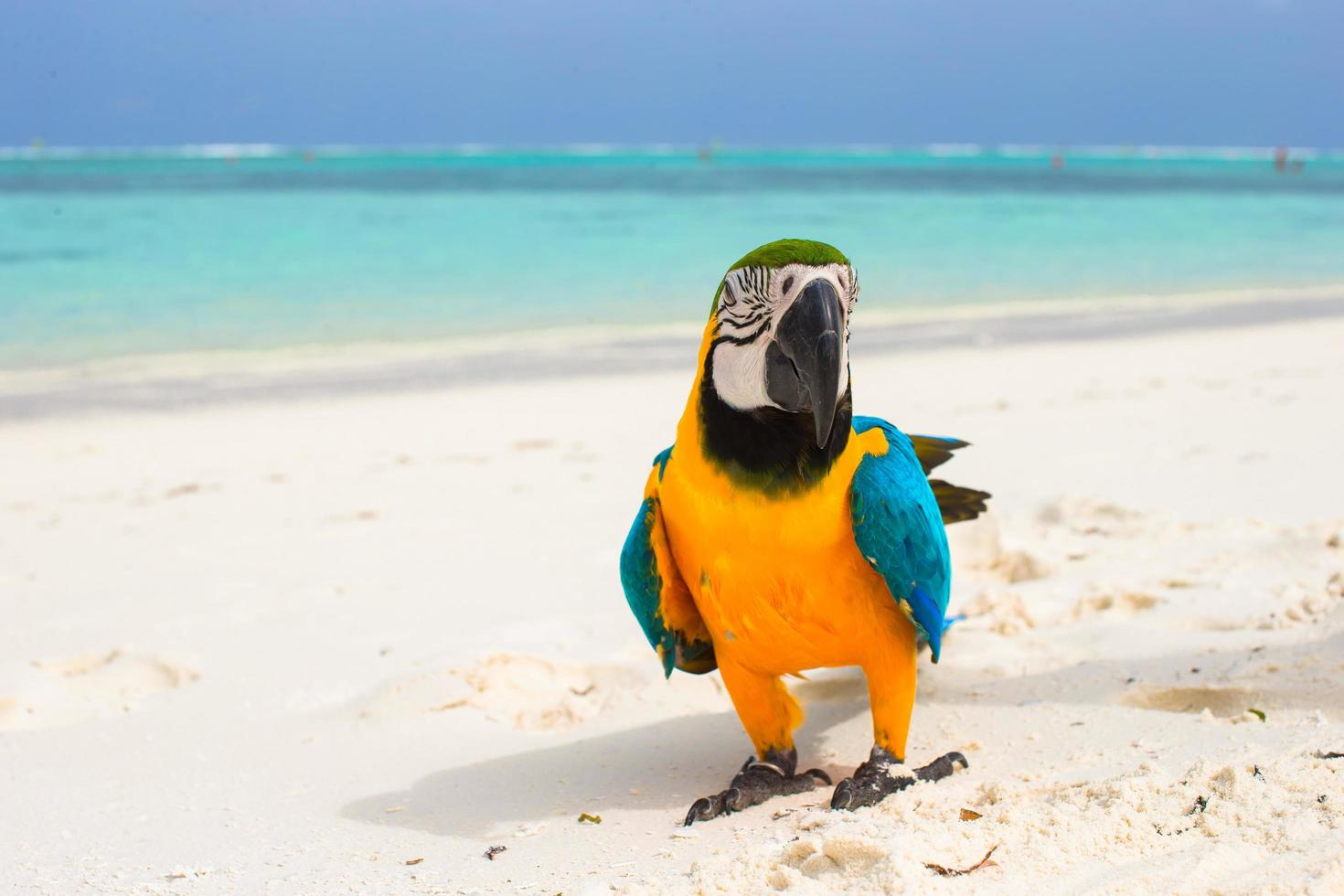 Colorful parrot on white sand photo