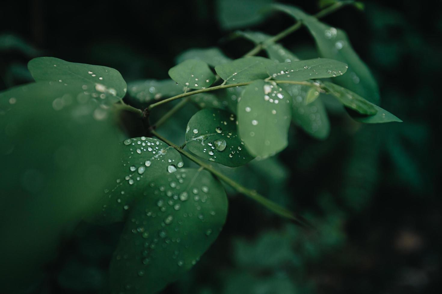 Raindrops on leaves photo