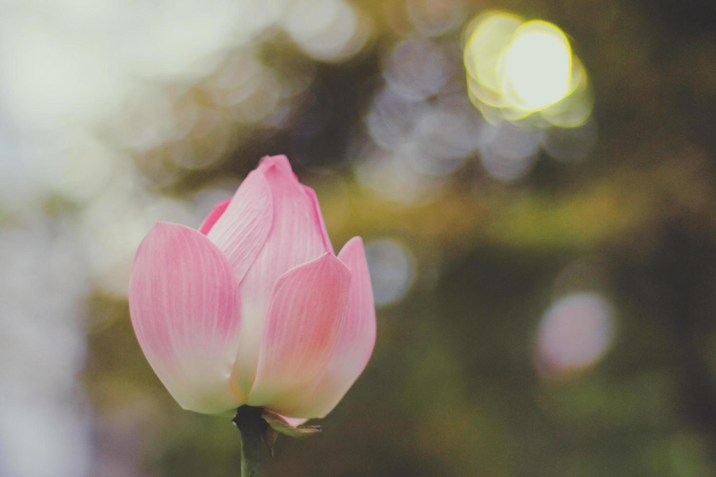 Soft focus of pink lotus flower photo
