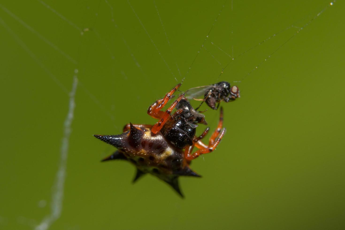 primer plano de araña naranja foto