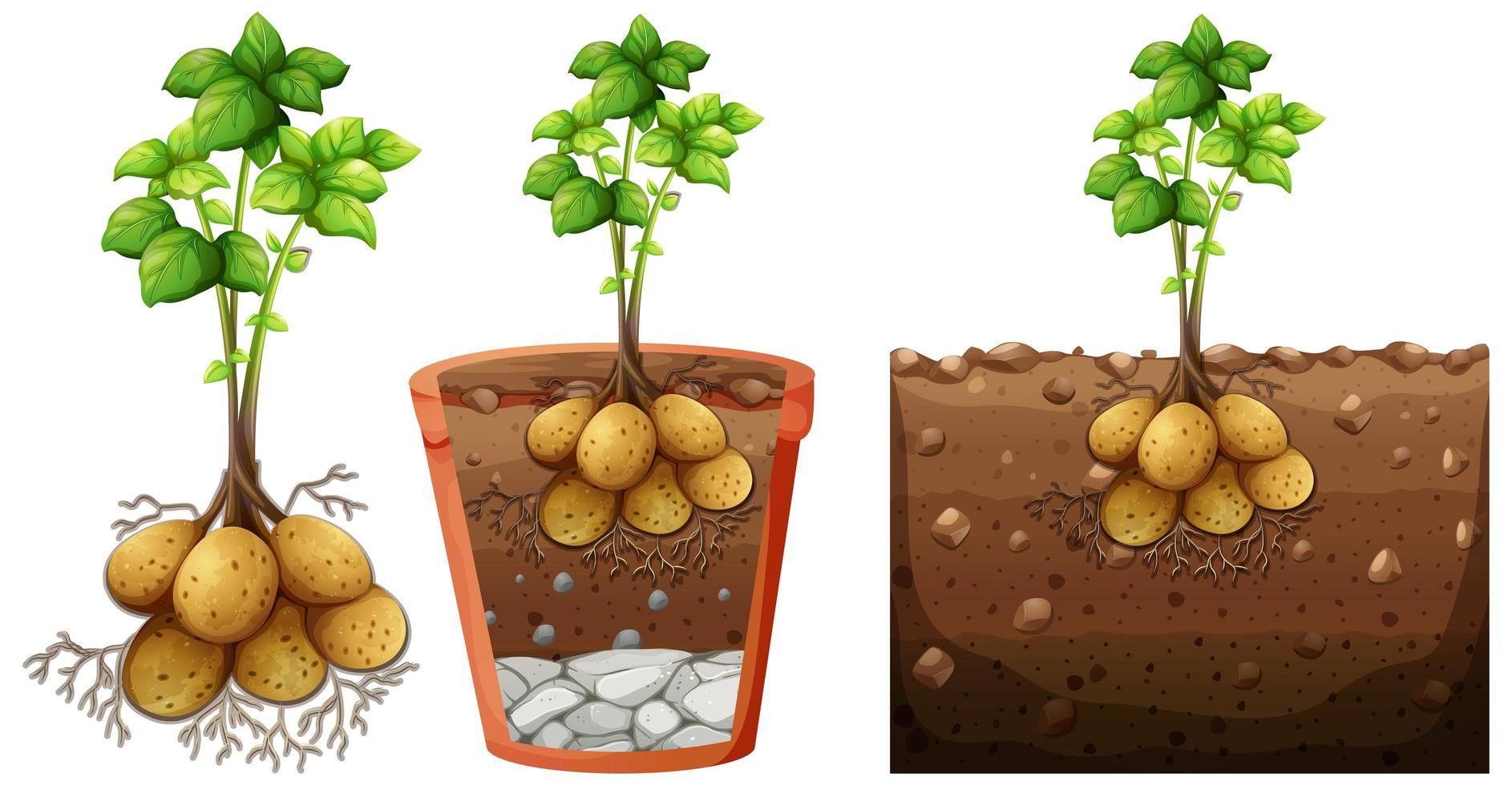 Conjunto de planta de papa con raíces aislado sobre fondo blanco. vector