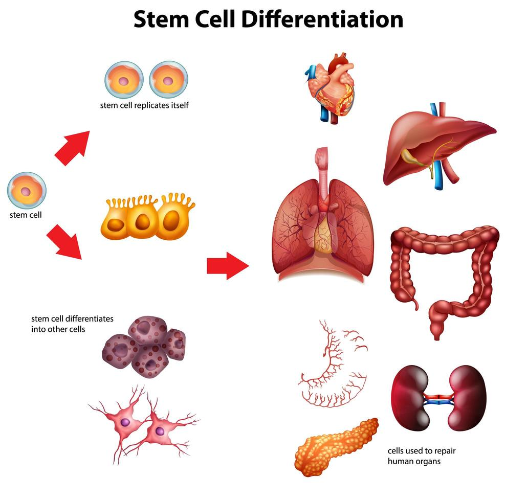 Stem cell differentiation diagram vector