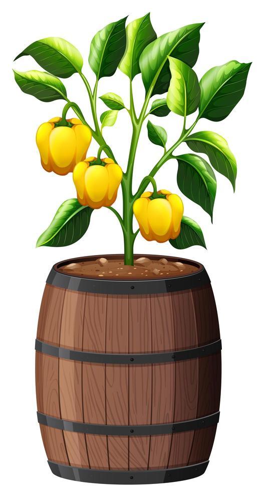 Planta de pimiento amarillo en maceta de madera aislado sobre fondo blanco. vector