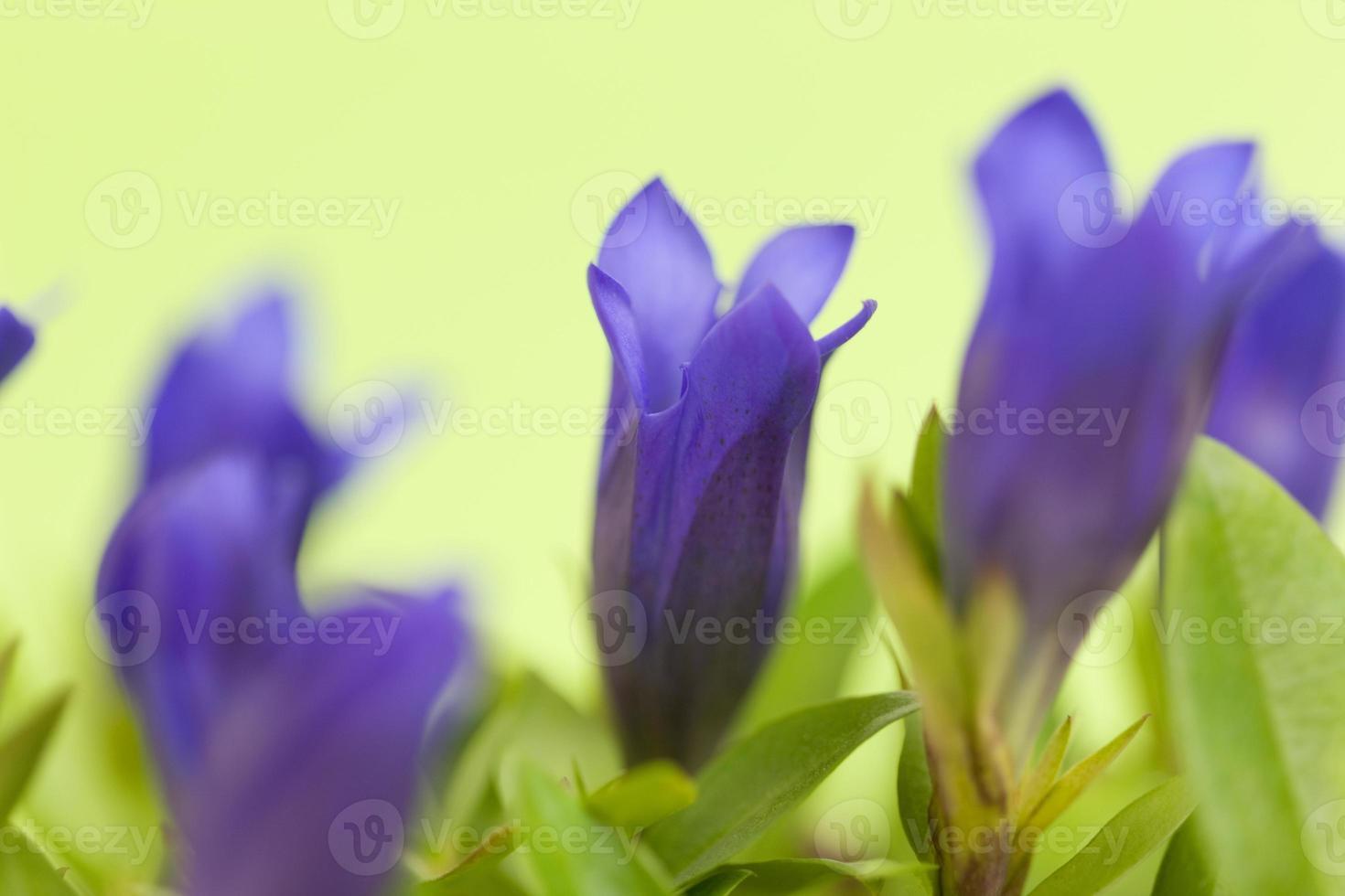 Flowers of gentian photo