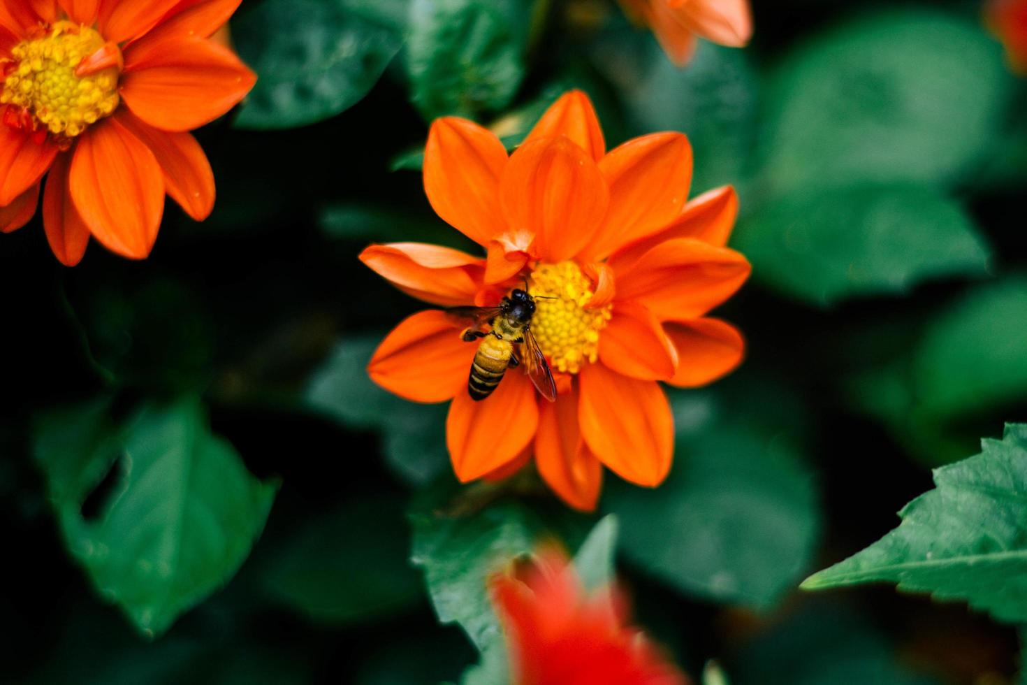 Bee on an orange flower photo