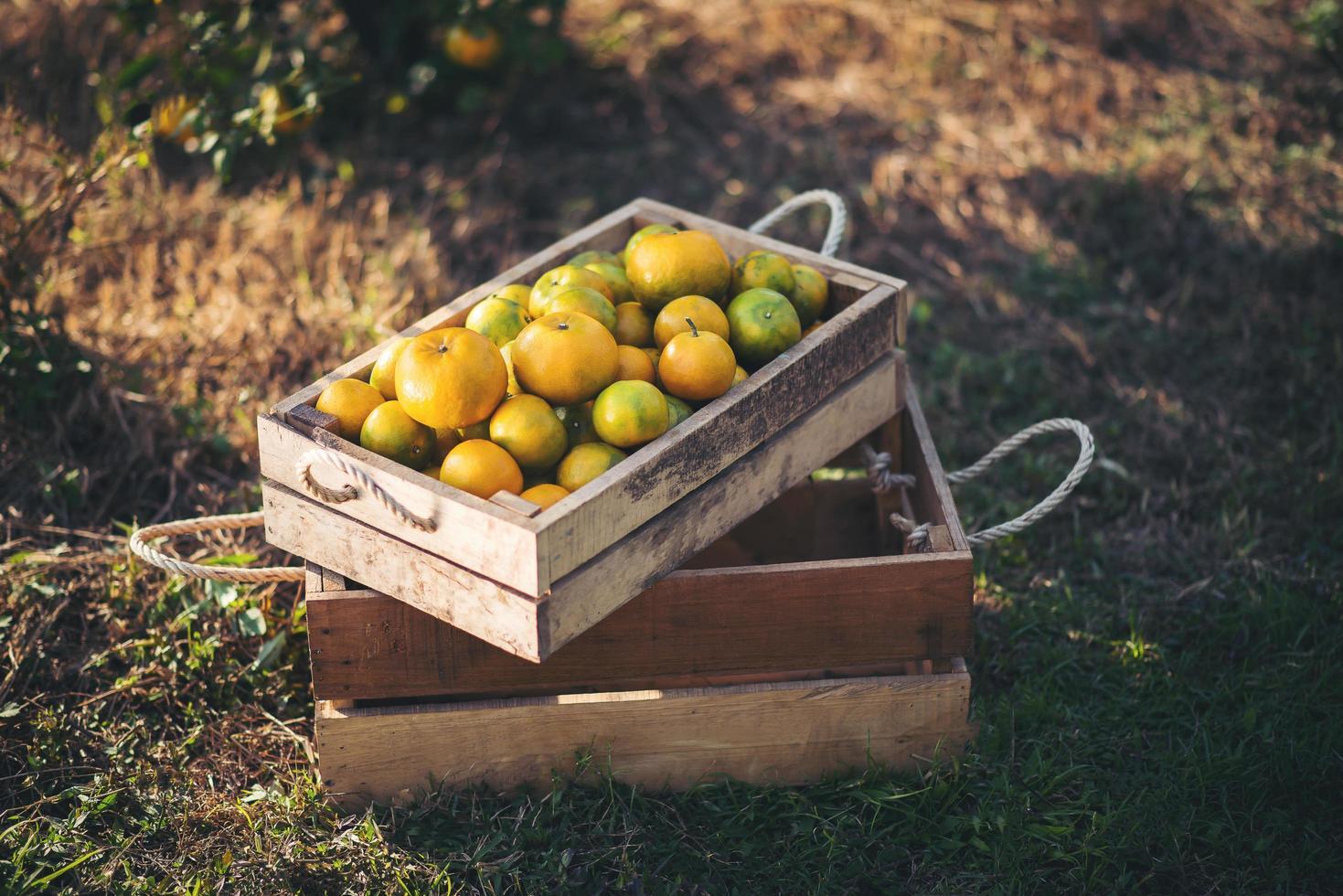 naranjas frescas recogidas foto