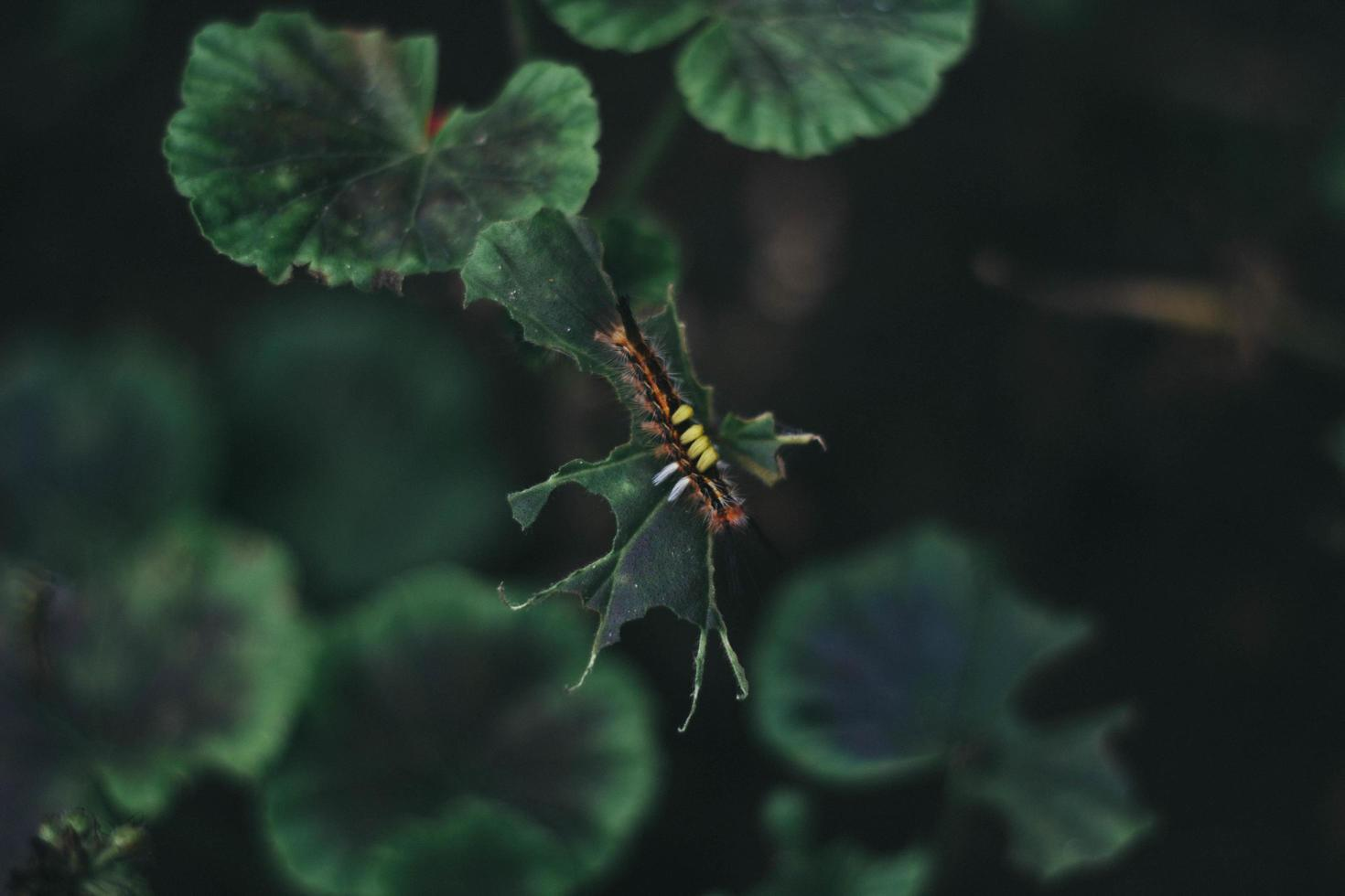 Caterpillar on a leaf photo