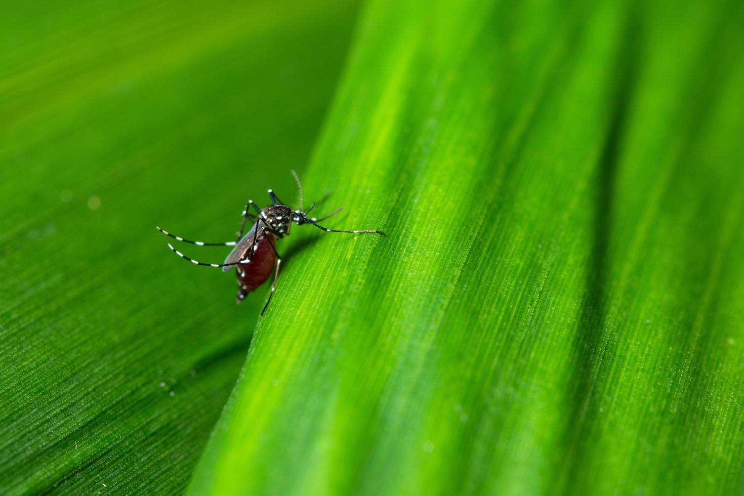 mosquito en una hoja foto
