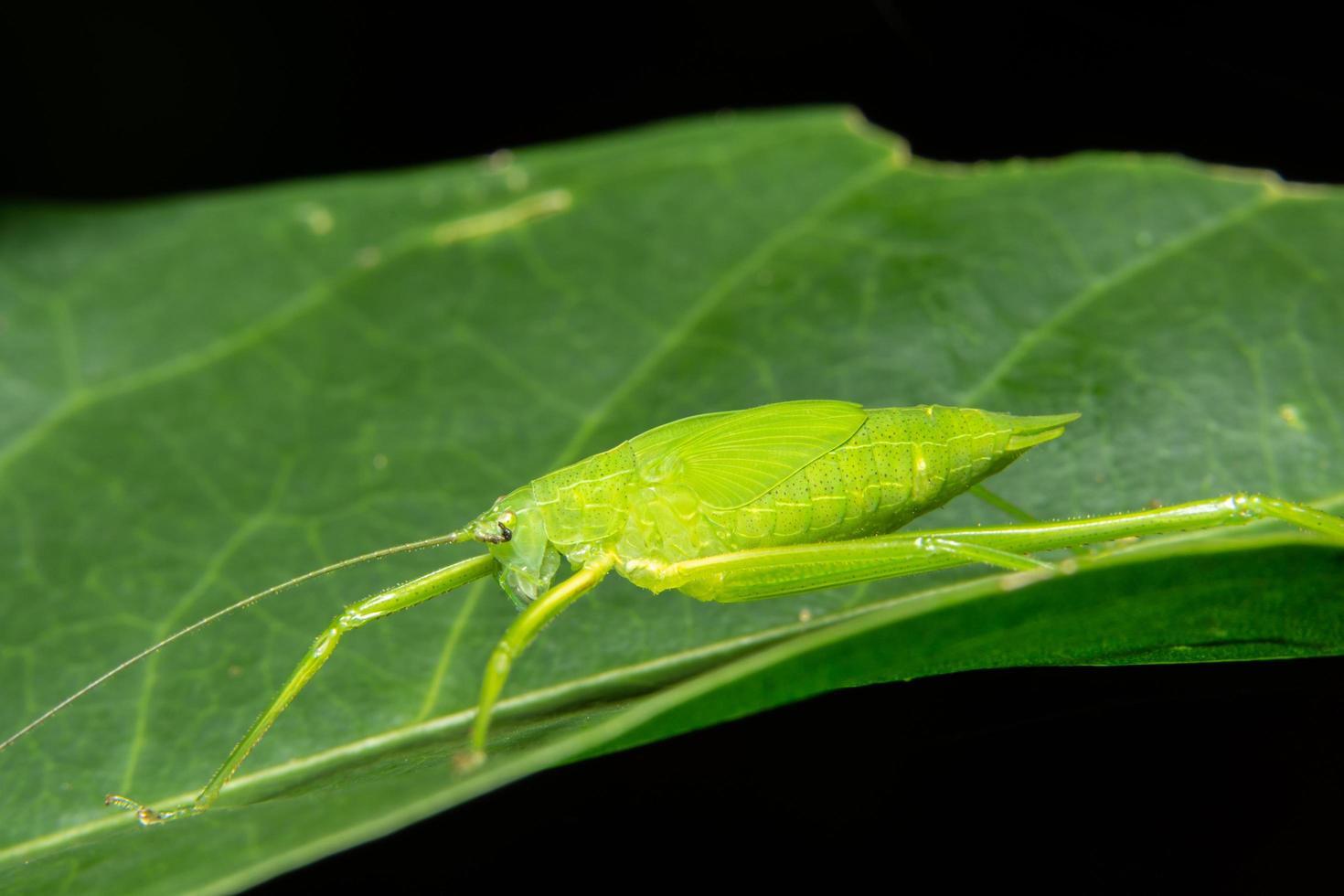 saltamontes verde en una hoja foto