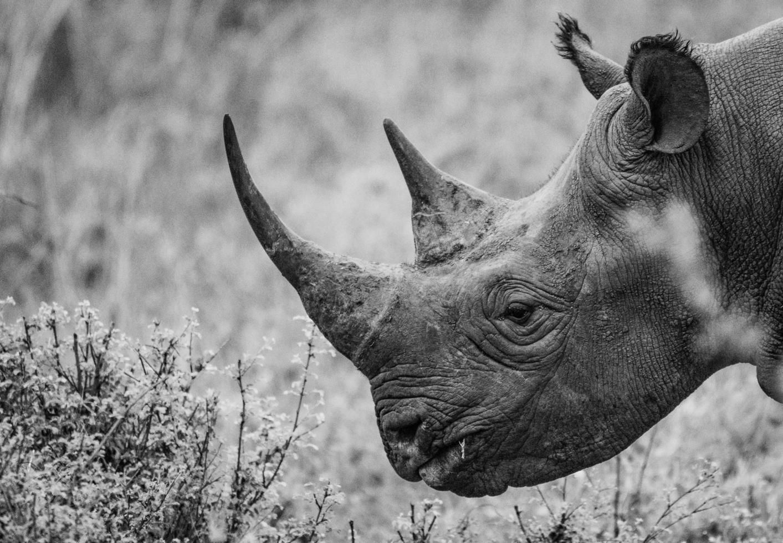 foto en escala de grises de un rinoceronte