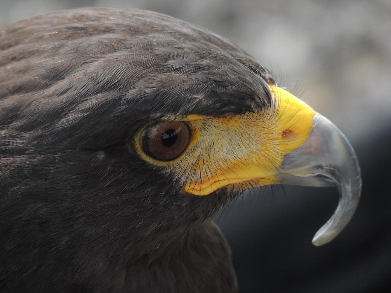 la cara de un halcón foto