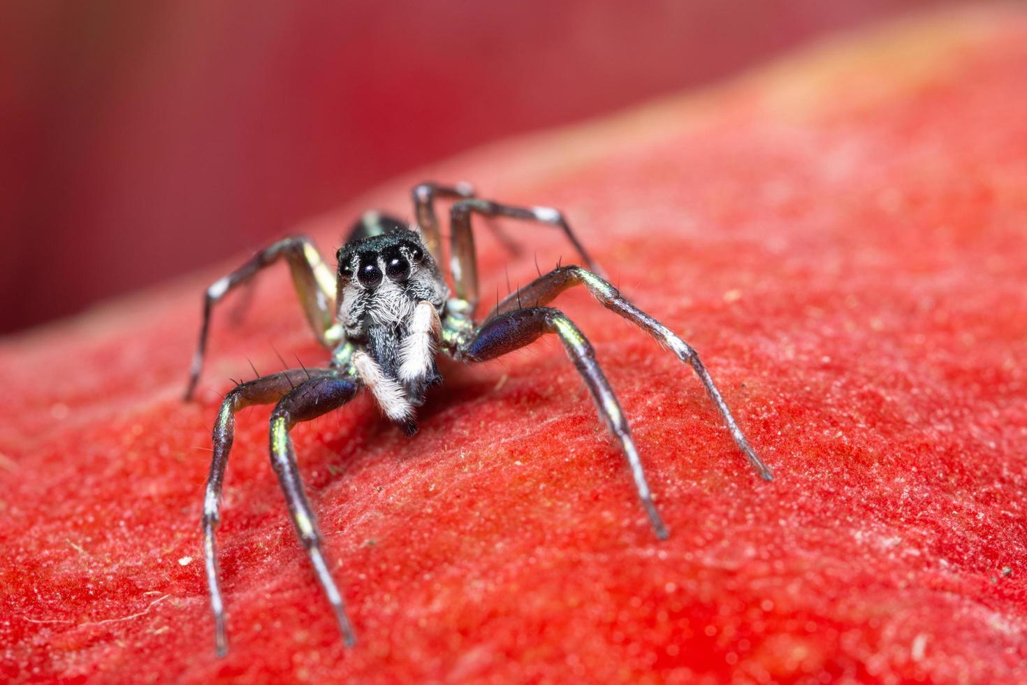 araña sobre fondo rojo foto