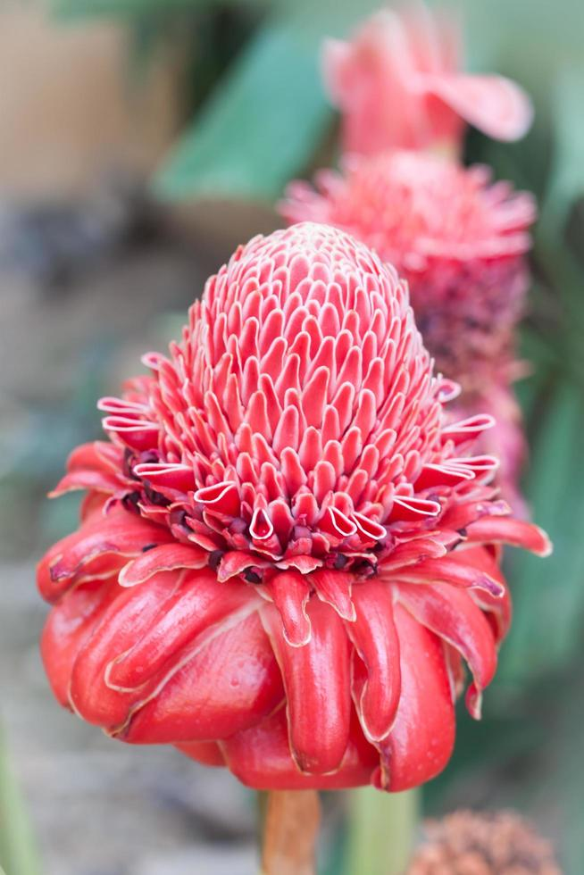 Close-up red torch ginger flowers photo