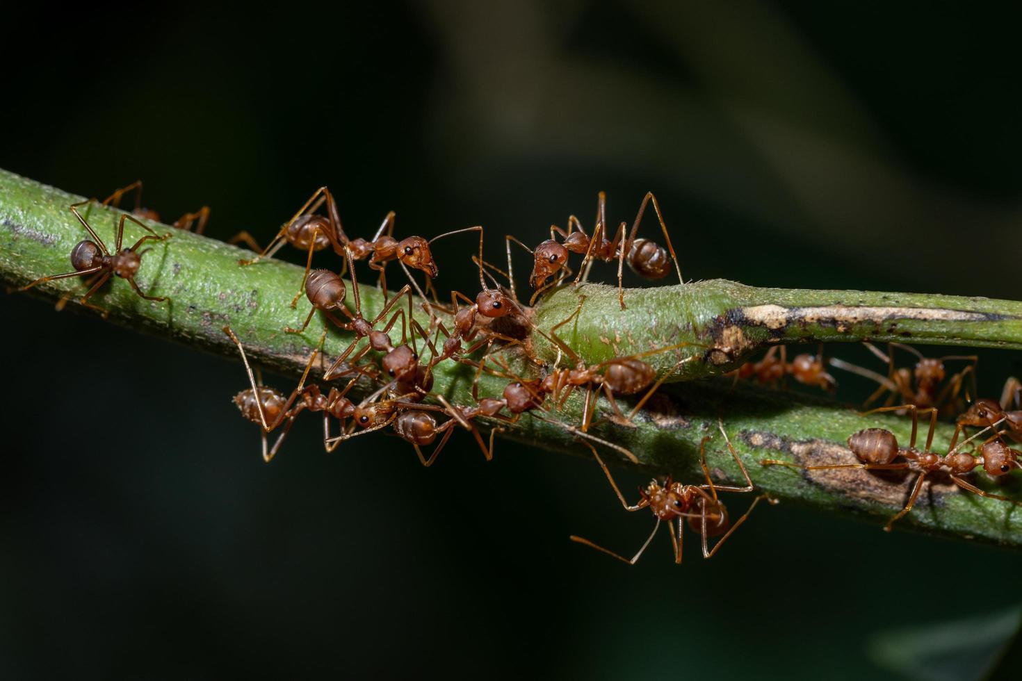 hormigas en una rama foto