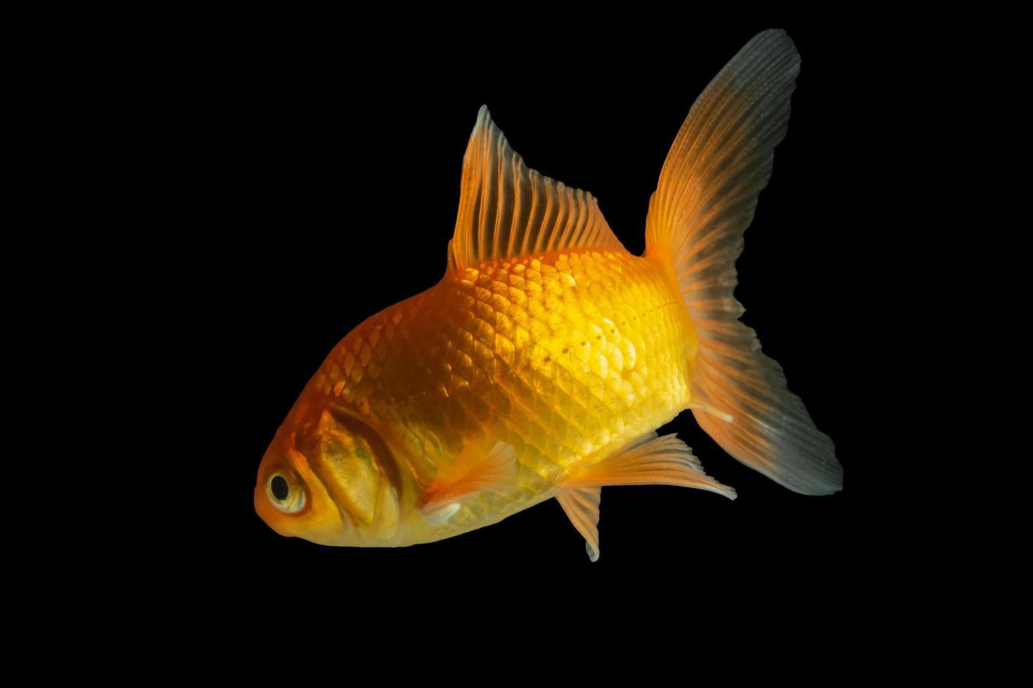 Carp Golden fish on black background photo