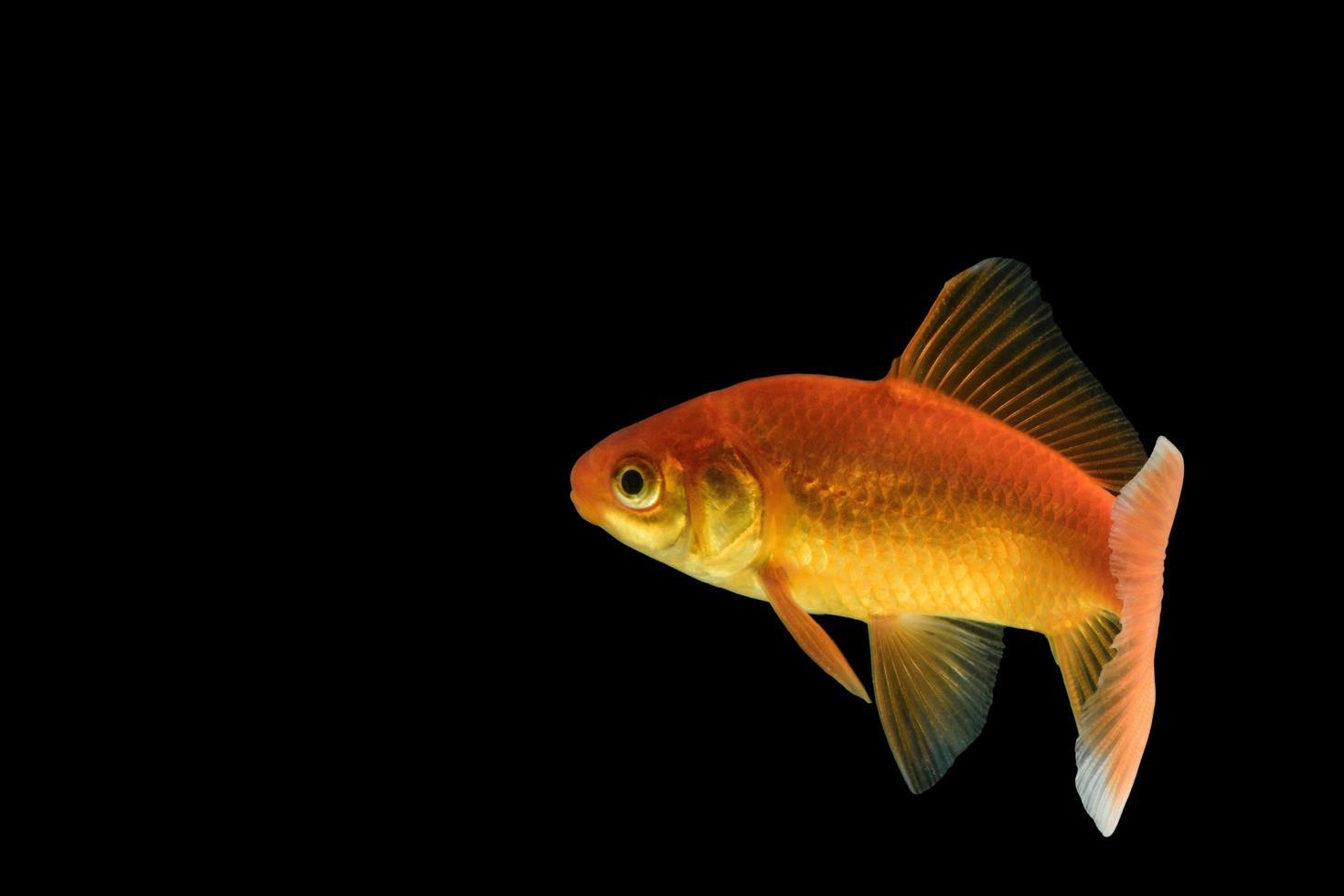 carpa pez dorado sobre fondo negro foto