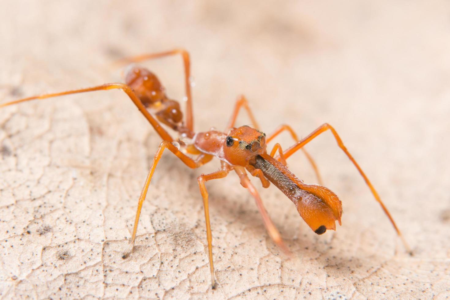 primer plano de araña parecida a una hormiga foto