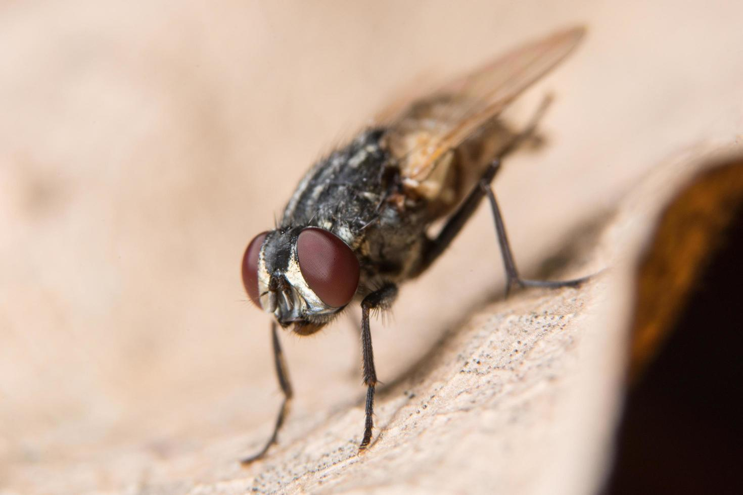 Fly on a dry leaf photo
