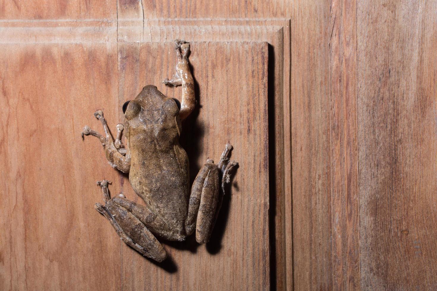 Polypedates leucomystax on wooden background photo