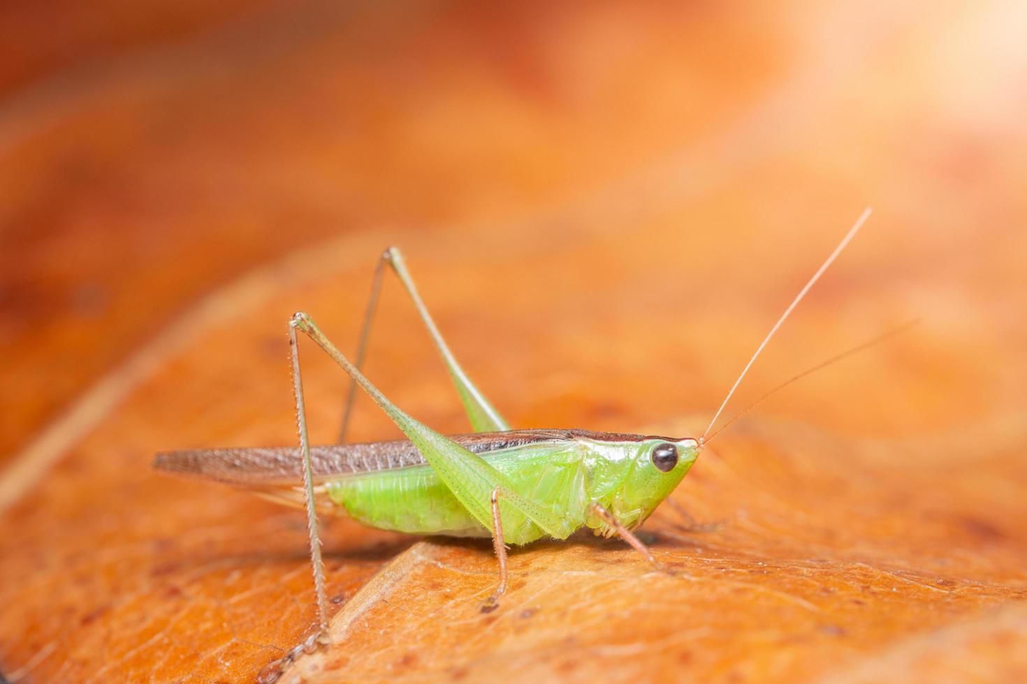 Grasshopper on a dry leaf photo