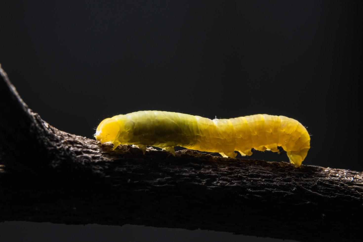 gusano en una rama foto