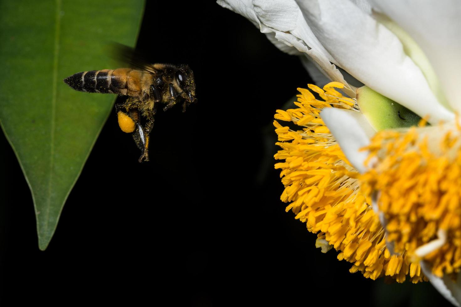 Bee at a flower photo