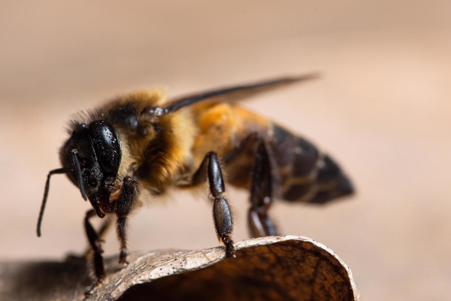abeja en una hoja foto