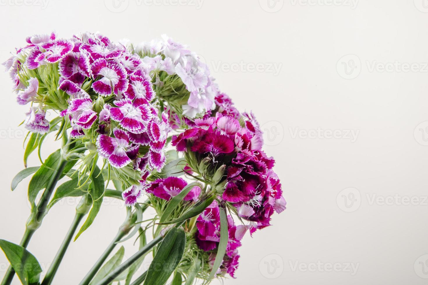 Carnations on a white background photo
